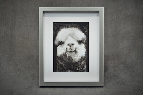 Black & White Framed Photography of smiling alpaca