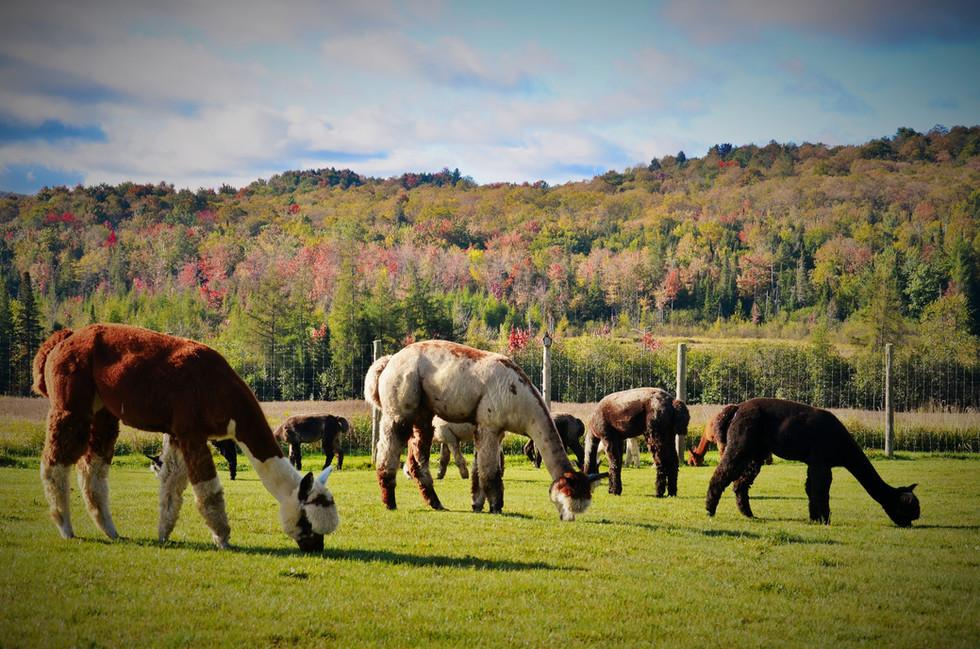 Pastures and alpacas.JPG