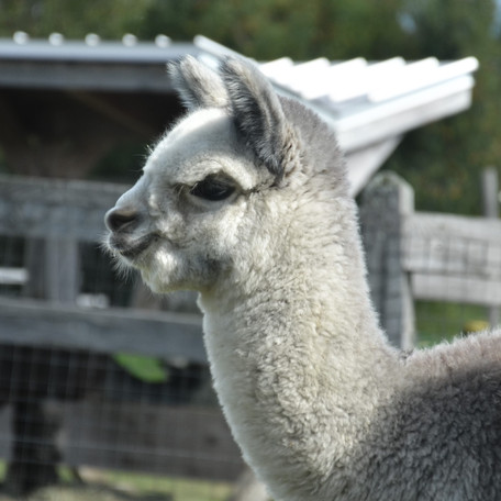 Alpagas Sutton - Grey cria