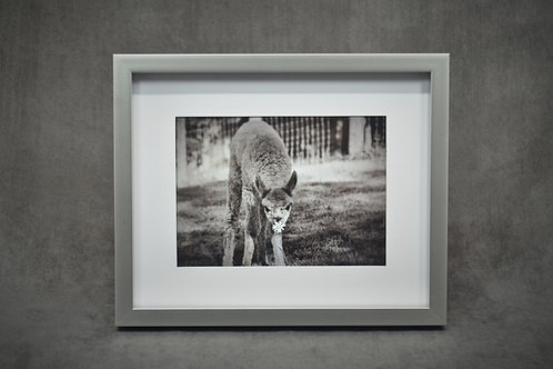 Black & White Framed Photography of a baby alpaca smelling a flower