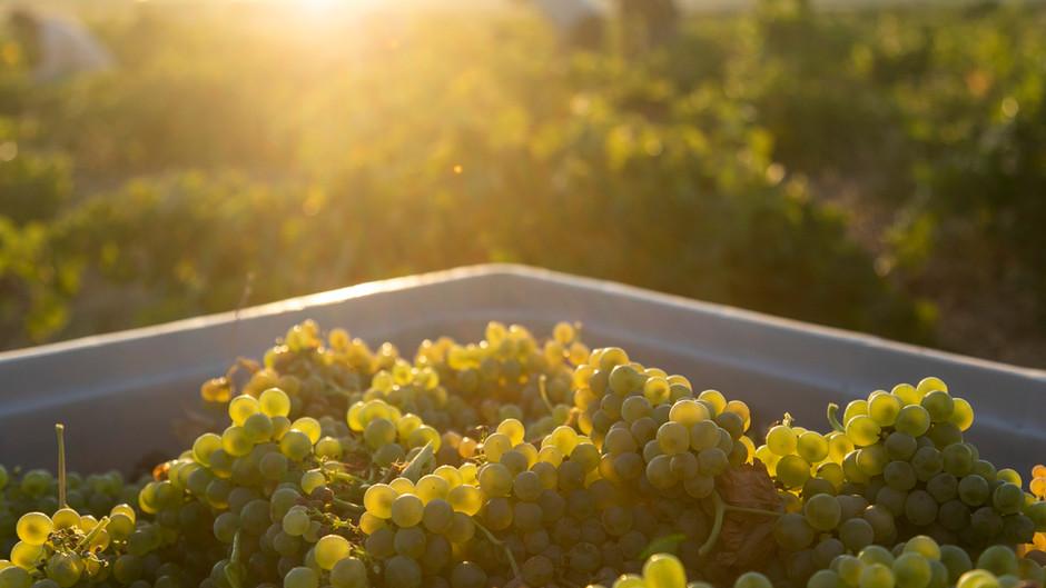 Las bodegas de la Ruta del Vino de Rueda aprovechan la vendimia para ofrecer visitas especiales