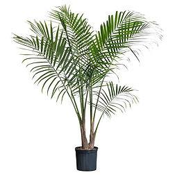 Palm Tree rental The Greenhouse Richmod VA