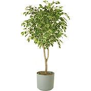 Ficus Rental The Greenhouse Richmond VA