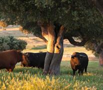 I Certamen Taurino 'Encina Charra' para promocionar el toro de lidia y la dehesa