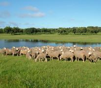 Siete enclaves para descubrir el Cordero de Extremadura este verano