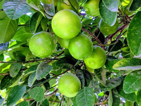 We've Got Some FRESH Homegrown Limes For You!