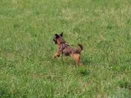 Border Terrier Club Schweiz
