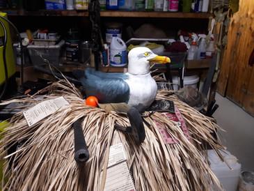 Nesting Gull