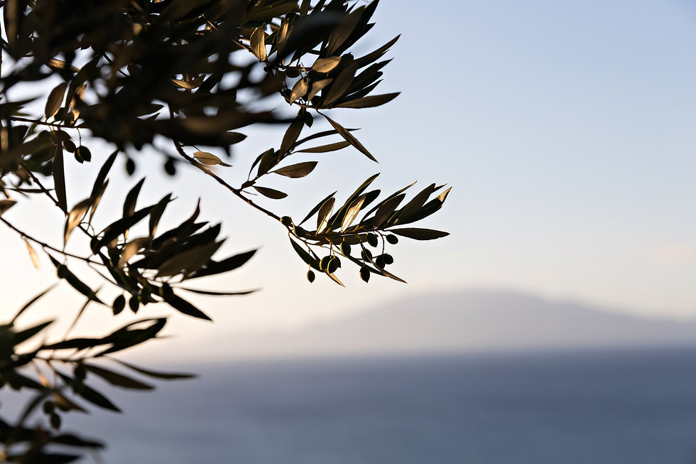 olive-branches-PCU5QPN.jpg
