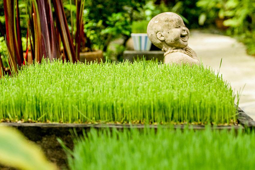 Atsumi Wheatgrass
