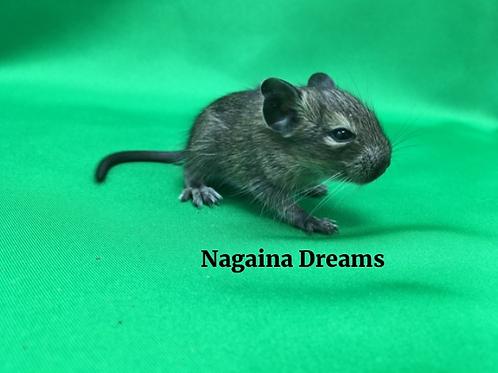 Дегу: Nagaina Dreams