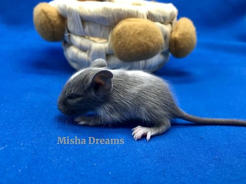 Дегу: Misha Dreams