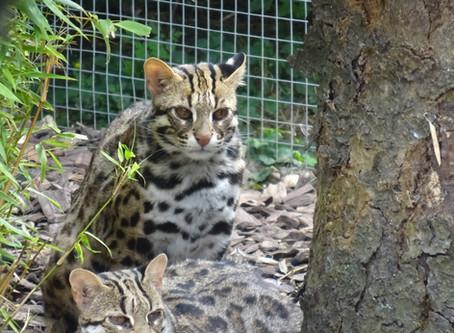 Le chat Léopard d'Asie