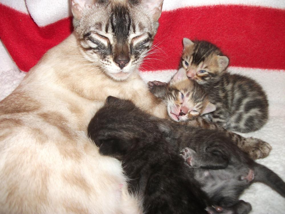 Nandi chatons bengals