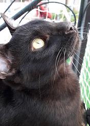 Ondine Galactic Bengal noir black melanistic