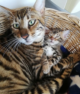 Toyger chaton kitten femelle brown