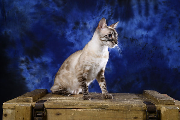 Nandi Savaneat Galactic bengal snow lynx charcoal seal point tabby