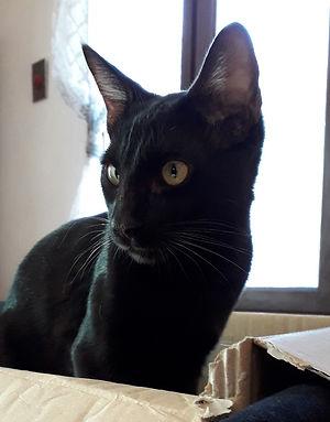 Ondine Galctic bengal mélanistique noire