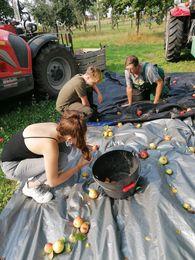 Récolte de pommes