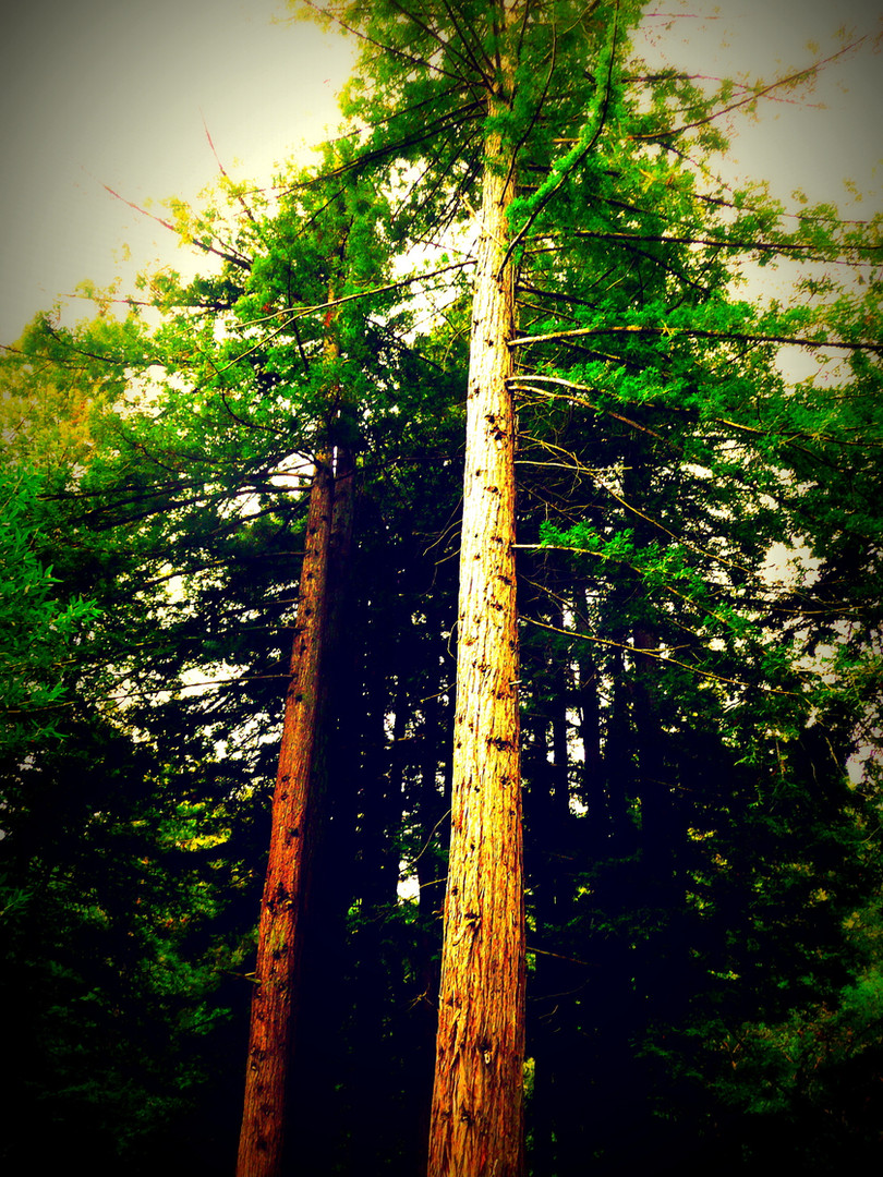 TALL TREES (CALIFORNIA)