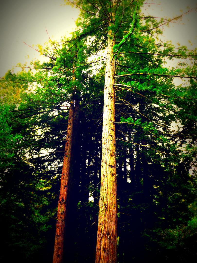 TALL TREES (CALIFORNIA)
