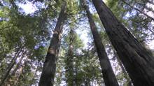 Redwoods Rendezvous
