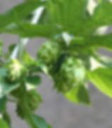 Centennial Hops.jpg
