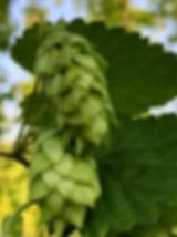 hops cone of Hang Over Hops