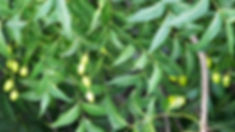 arbre a neem