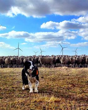 rubble and sheep Mt Mercer.jpg