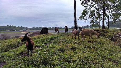 Morven Park Goats During.jpg