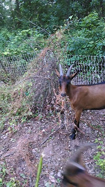 Moven Park Goats After 01.jpg