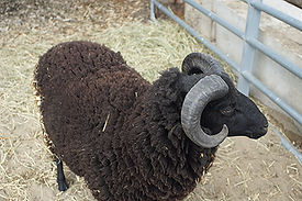 Black sheep of the family 1.JPG