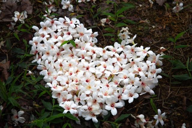 桐花(客家桐の花祭り)