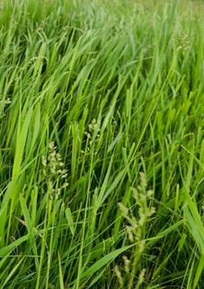 Grass%20Before%20Cows_edited.jpg