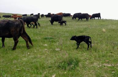 Newborn Calf Following Herd.jpg