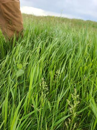 Grass Before Cows.jpg