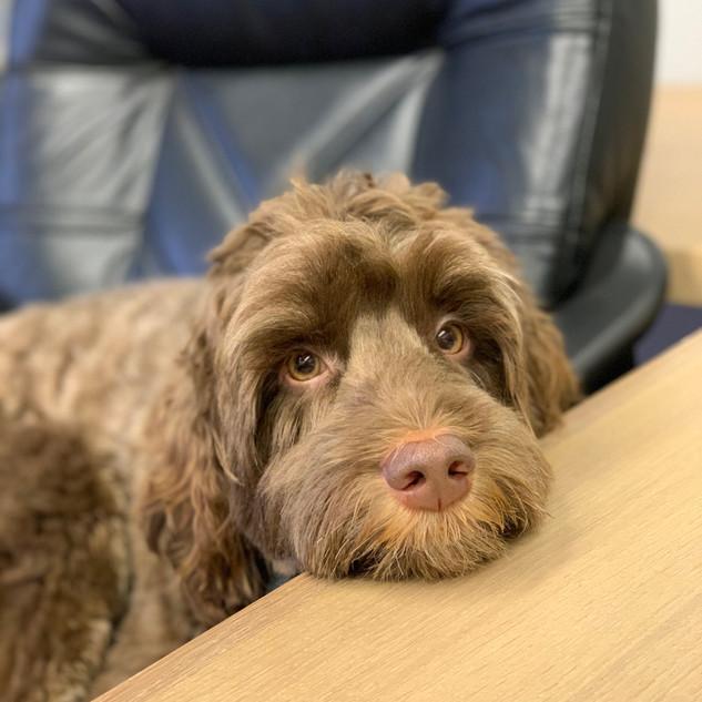Gordie  -  Office Mascot