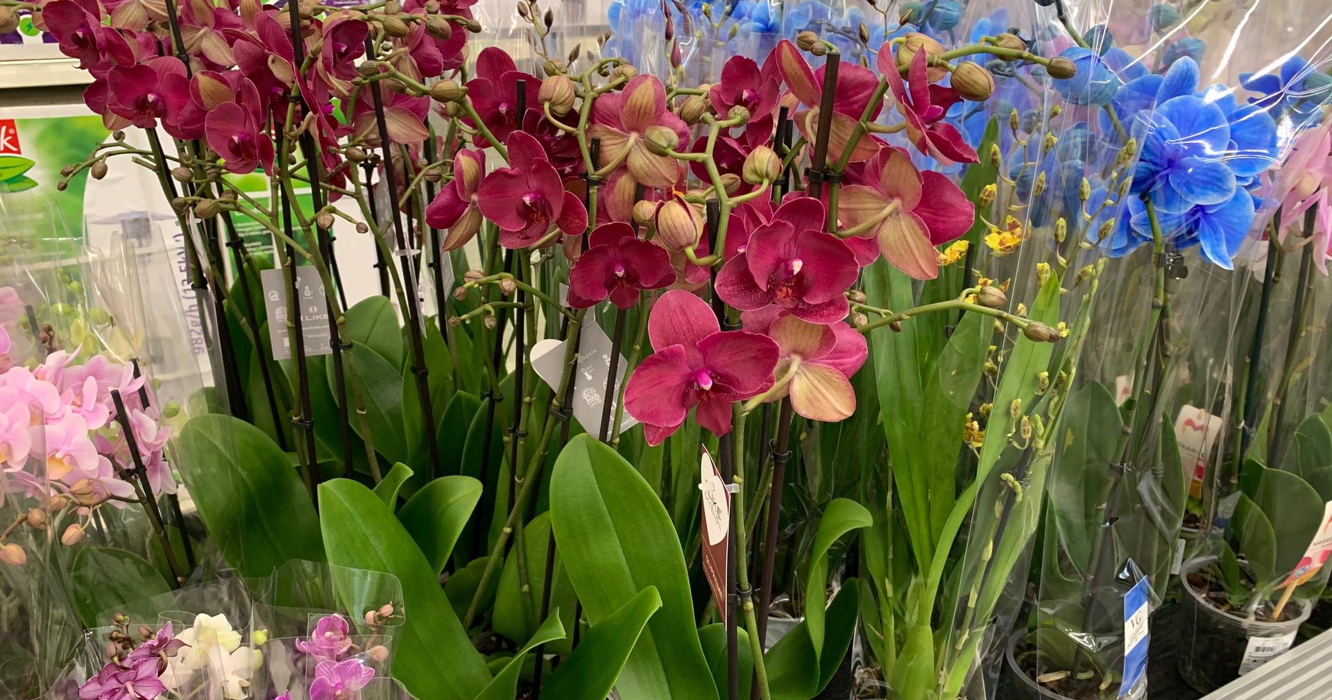Bel arrivage d'orchidées ... de toutes les couleurs