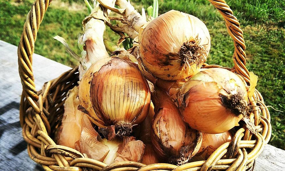 Onion (each)