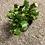 "Thumbnail: 4"" Christmas Cactus"