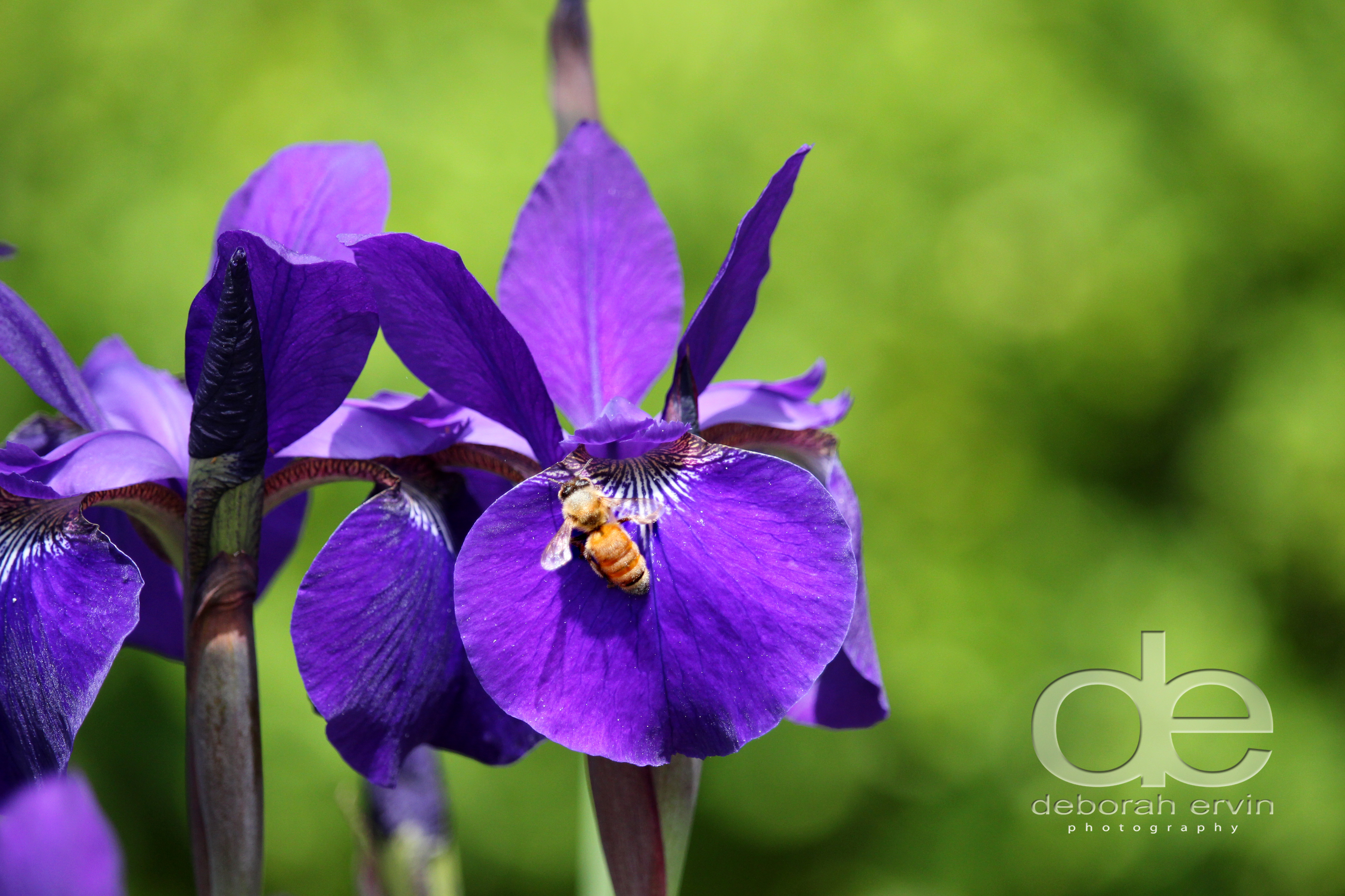 A bee on an Iris