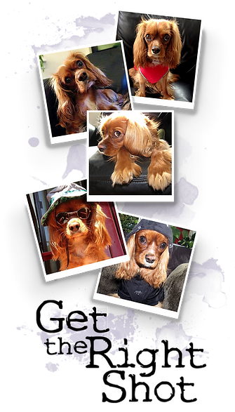 dogs, Cavalier, CKCS, photography, pets, art