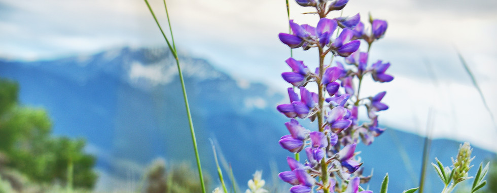 Lupine and Electric Peak
