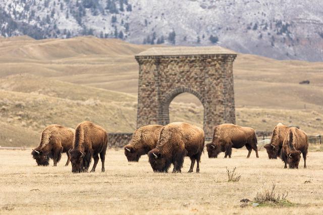 Bison in Gardiner