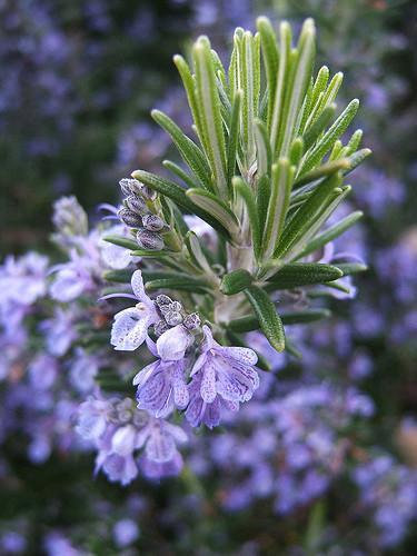 RoseMary Essential Oil, 10ml