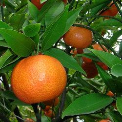 Mandarin Essential Oil, 10ml