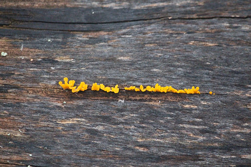 Baby Yellow Fungus