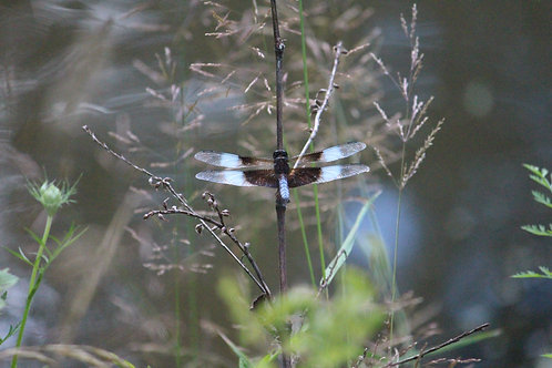 Dragonfly by Water - L