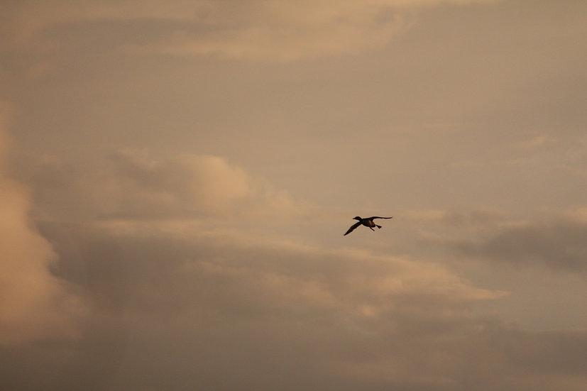 Loon in Flight